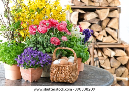 Spring flowers and Easter eggs decoration. Ranunculus, campanula, forsythia - stock photo