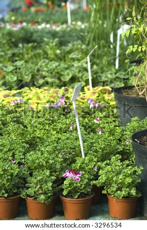 spring flowers and plants for sale. garden and greenhouse