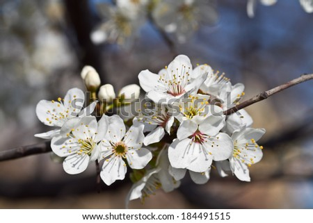 spring flowers. apple flowers and buds blooming at spring - stock photo
