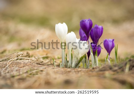 Spring flowers as a background. Spring composition - stock photo