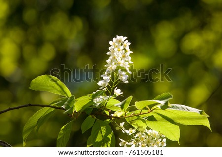 Spring flowers bird cherry tree white stock photo royalty free spring flowers bird cherry a tree with white fragrant flowers collected in a mightylinksfo
