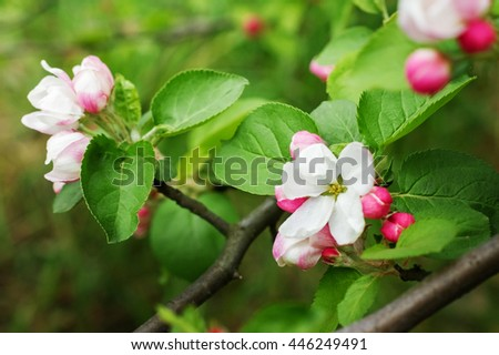 Spring flowers. Blooming Apple tree