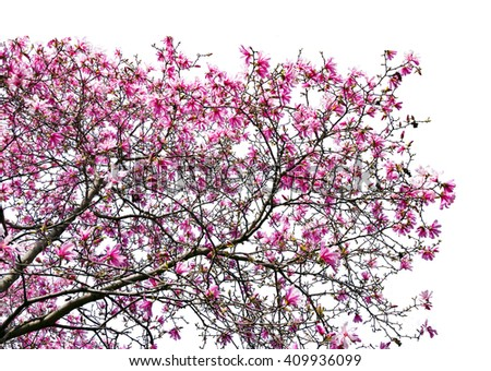 Spring flowers blooming on magnolia tree against blue sky background in Central Park, New York City - stock photo