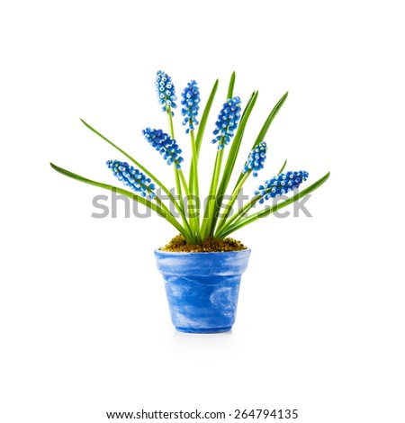 Spring flowers. Blue flowerpot with grape hyacinth muscari isolated on white background - stock photo