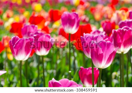 spring flowers, bright tulips on a sunny day - stock photo