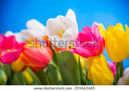 spring flowers colorful tulips bouquet present for holidays mother day easter valentines - stock photo