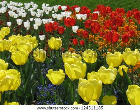 spring flowers, colorful tulips field