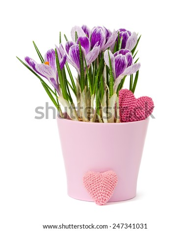 spring flowers - crocus - and knitting heart are isolated on a white  - stock photo