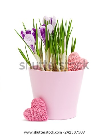 spring flowers, crocus and knitting hearts are isolated on a white  - stock photo