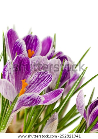 spring flowers, crocus, isolated on white,  soft focus  - stock photo