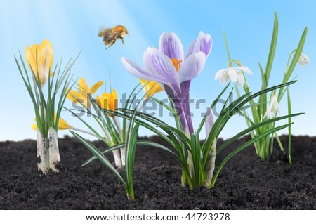 Spring flowers - crocuses and snowdrops - illuminated by sunshine with flying bumblebee. - stock photo