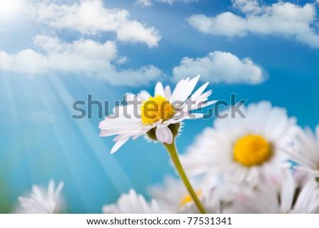 Spring flowers - daisy on blue sky background - stock photo