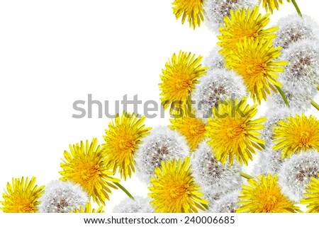 spring flowers dandelions - stock photo