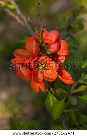 Spring flowers. Flowering in May - Flowering bud and flower - stock photo