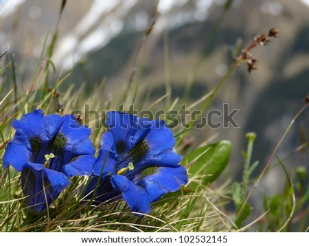 Spring flowers Gentian - stock photo