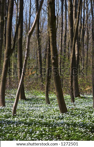 Spring flowers in a Danish forest, only blooms for a few weeks. forests.(extreme DOF, tilt lens)