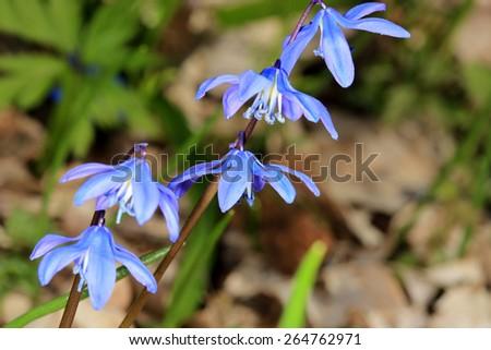 Spring flowers in forest - Scilla Bifolia - stock photo