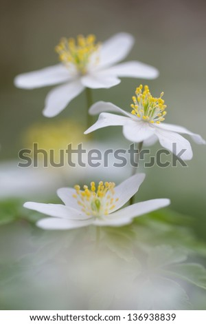 Spring flowers in forest - wood anemone, windflower, thimbleweed, smell fox ( Anemone nemorosa ) - stock photo