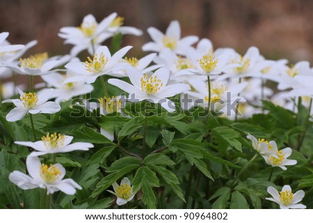 Spring flowers in forest - wood anemone, windflower, thimbleweed, smell fox ( Anemone nemorosa )