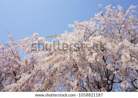 Spring flowers japan stock photo royalty free 1058821187 spring flowers in japan mightylinksfo