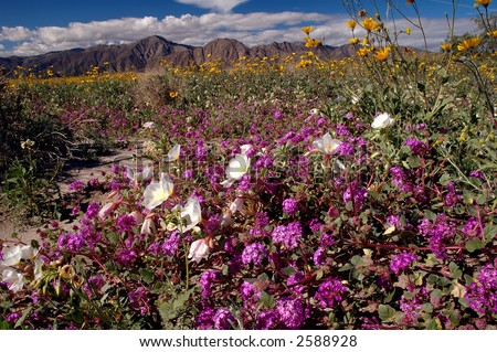 spring flowers in the desert - stock photo