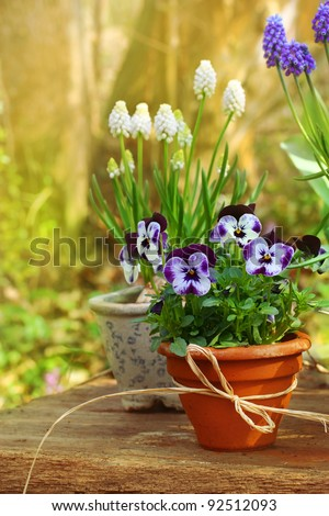 Spring flowers in the garden - Beautiful spring or easter scene with potted pansies and grape hyacinth on a wooden table