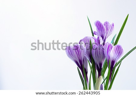 Spring flowers isolated on white background  - stock photo