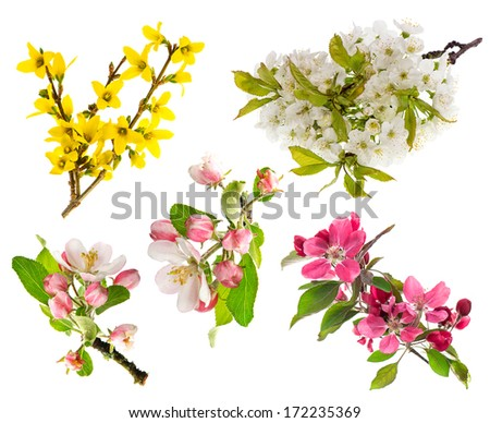 spring flowers isolated on white background. blossoms of apple tree, cherry twig, forsythia - stock photo