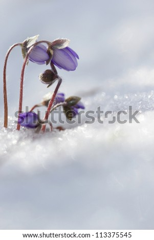 Spring flowers Lliverwort (Anemone hepatica ) flowers in the snow - vertical photo - stock photo