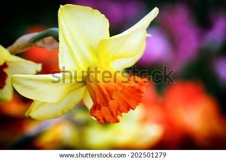Spring flowers. Macro shot of yellow daffodil - stock photo
