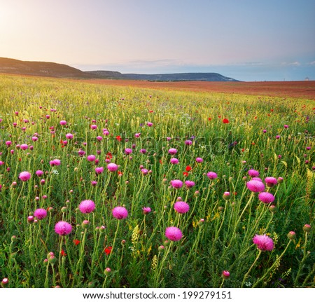 Spring flowers of silybum. Beautiful landscapes. - stock photo