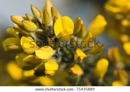 Spring flowers on common broom latin stock photo edit now 75435889 spring flowers on the common broom latin name cytisus scoparius hampshire heathland springtime mightylinksfo