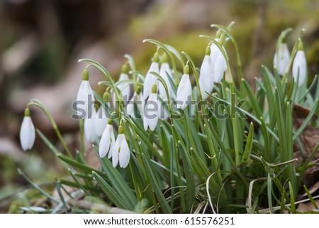 Usted apuesta su jardín - bulbos de la primavera que perforan para arriba & mdash; en invierno!