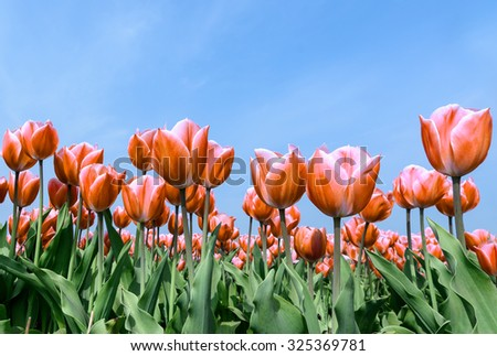 spring flowers red tulips bouquet over blue sky - stock photo