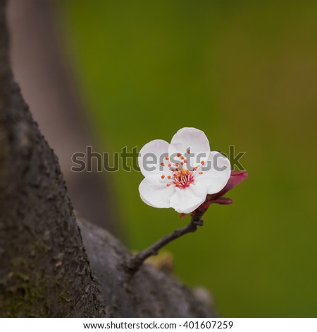 Spring flowers series: Prunus cerasifera or common names cherry plum and myrobalan plum branch with flowers and leaves. - stock photo
