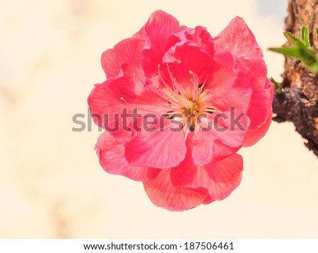 Spring flowers series, red peach blossoming in sunshine - stock photo