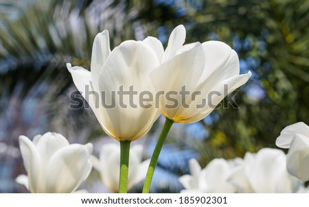 Spring flowers series, twin white tulips with charming transparent petals in field
