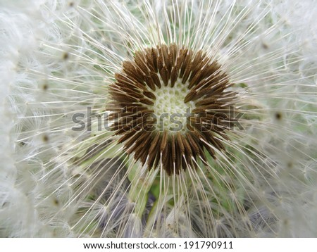 Spring flowers, Taraxacum officinale, dandelion, blowball - stock photo