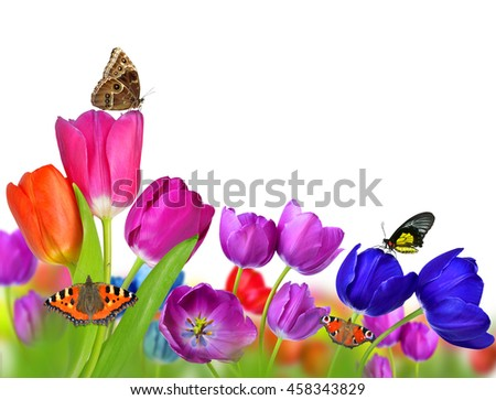 Spring flowers tulip with butterflies isolated on white background.