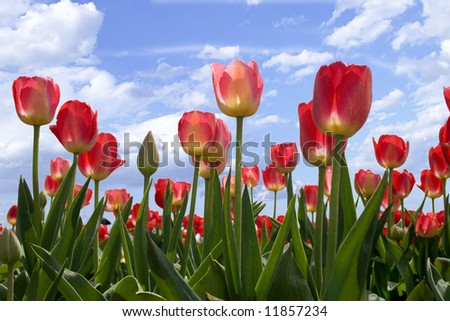 Spring flowers tulips in the blue sky - stock photo
