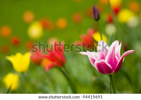 Spring flowers tulips in the garden - stock photo