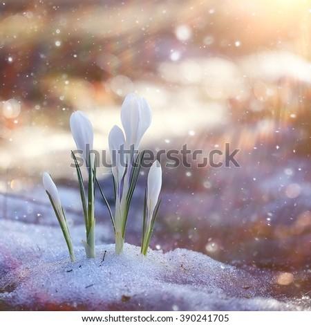 spring flowers, white crocus snowdrops sun rays - stock photo