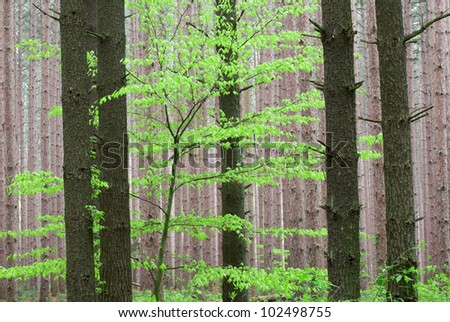 Spring foliage in pine forest, Yankee Springs State Park, Michigan, USA - stock photo
