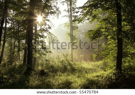 Spring forest after rainfall with oak trees backlit by the morning sunlight. - stock photo