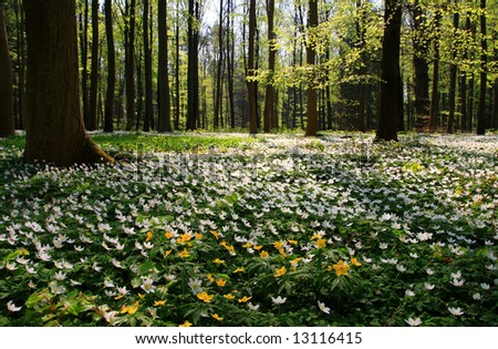 spring-forest covered with anemones - stock photo