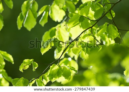 spring forest - fresh leaves and sun rays