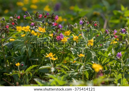 Spring forest. Spring flowers - Anemone Ranunculoides and Medunitsa - stock photo