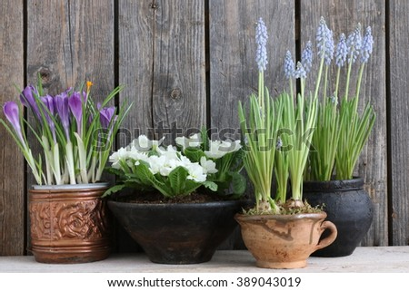 Spring fresh still life with crocus in the cooper pot, primula, hyacinth in the clay cup and jag