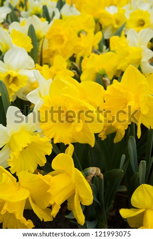 spring fresh yellow doffodil  flowers in  garden, Holland - stock photo