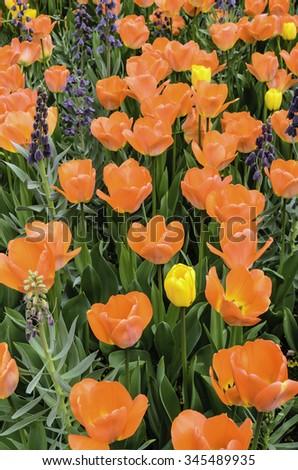 Spring garden display of vibrant daydream Darwin hybrid tulips (binomial name: Tulipa 'Day Dream') with subtle raindrops - stock photo